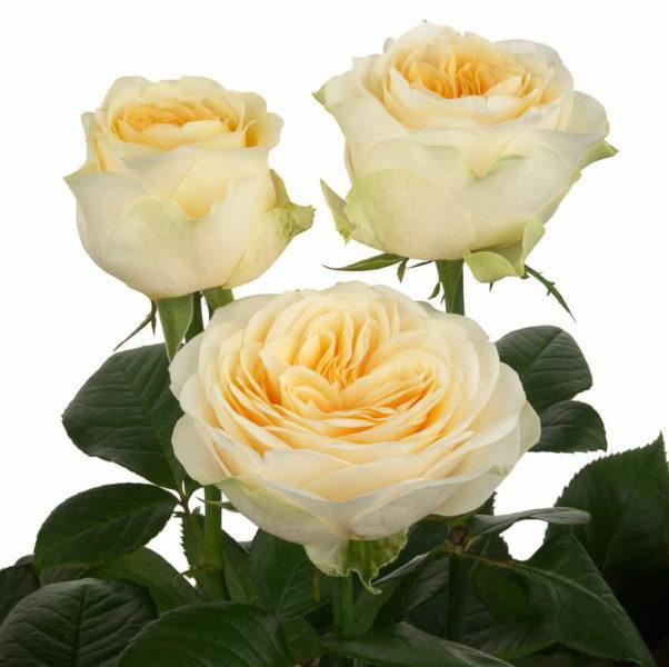 Eurosa Farms Buttercup Rose