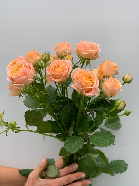 Eurosa Farms Apricot Lane Roses