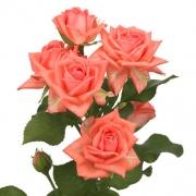 Eurosa Park Barbados Rose