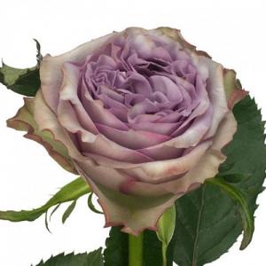 Eurosa Park Dolcetto Rose