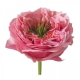 Eurosa Farm Regents Park Rose
