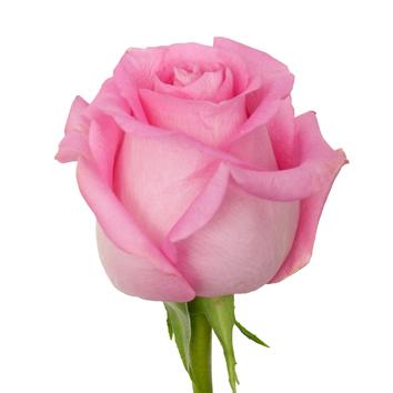 Eurosa Farms Revival Rose
