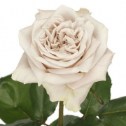 Eurosa Farms Westminster Abbey Rose