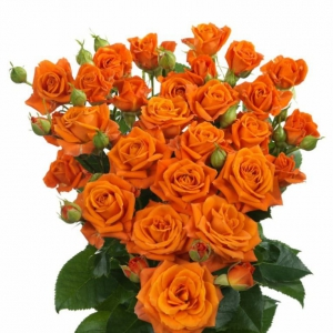 Eurosa Farms Orange Fire Rose