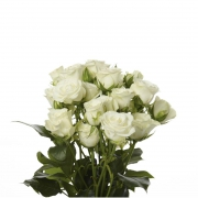 Eurosa Farms snowflake rose